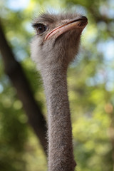 Ostrich with long neck