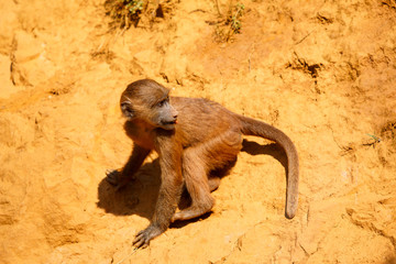 Young Guinea baboon in a state of freedom