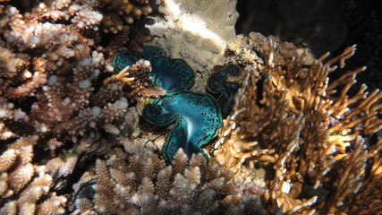Turquoise Giant Clam