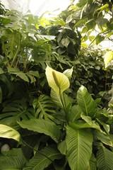 Anturium, kitnia (Anthurium Schott)