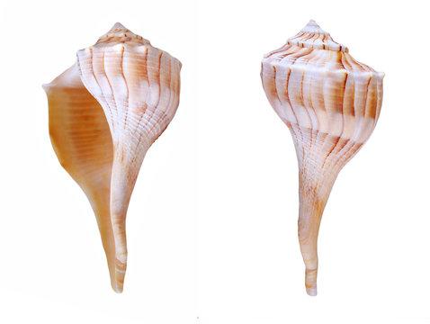 Two view of lightning whelk shell