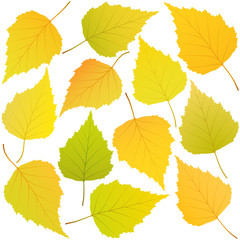 Wall Mural - autumn leaves of birch