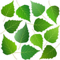 Wall Mural - green leaves of birch