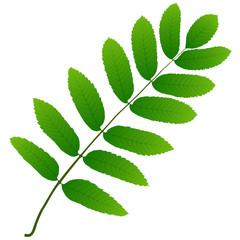 Wall Mural - rowan leaf