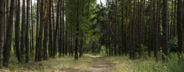 Alley footpath in the pine forest panorama