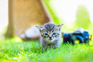 gray kitten walking on the grass