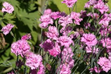 Goździk ogrodowy, gośdzik chiński (Dianthus caryophyllus)