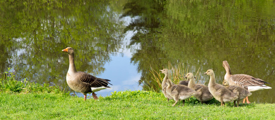 Geese Out For a Stroll by the Lake with Their Cute Chicks