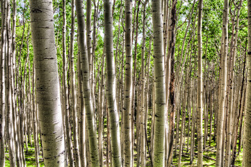AZ-Coconino National Forest-Inner Basin Trail-These images were captured in the aspen meadow along the trail.