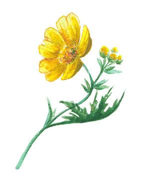 Buttercup yellow flower