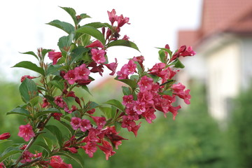 Krzewuszka cudowna - Weigela florida