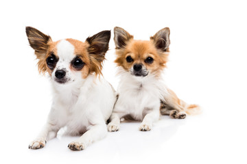Cute Chihuahuas on white background