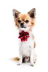 Cute Chihuahua on white background
