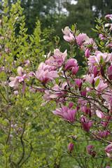 Magnolia, magnolie, kwiat magnolii