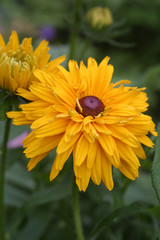 Nagietek lekarski (Calendula officinalis )