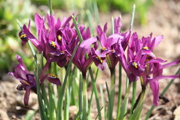 Irys (Kosaciec) - Iris