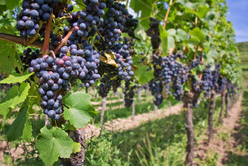 Close up on red black grapes in a vineyard