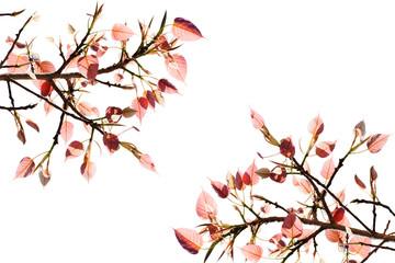 Pipal Tree, Bohhi Tree, Bo Tree, Peepul, put forth fresh leaves isolate
