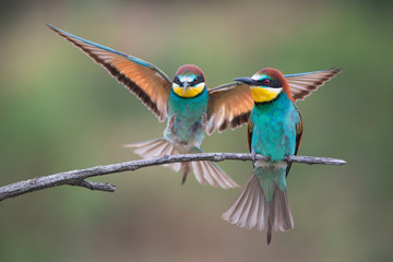 Two european bee-eaters