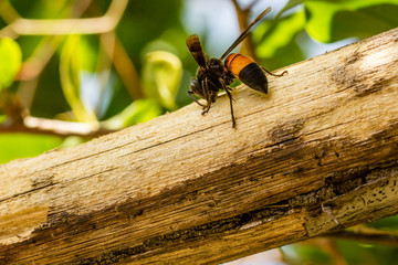 An orange and black hornet is busy stripping bark from a tree branch. Copy space to the left and bottom.