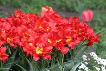 Tulipan - tulipany (Tulipa)