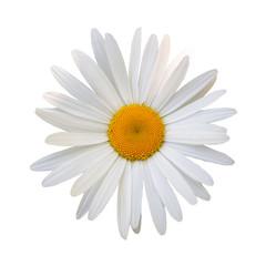 beautiful flower daisy