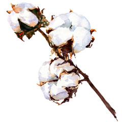 Cotton plant flower isolated, watercolor painting