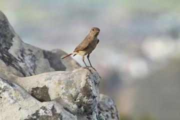 Female House Sparrow; Passer domesticus