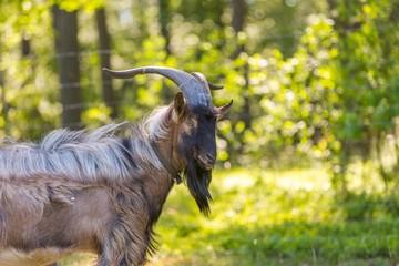 Beautiful portrait of goat male on pasture