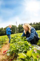 Mama mit Sohn pflücken Erdbeeren