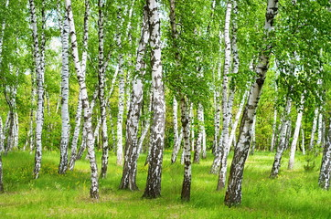 Photo sur Aluminium Bosquet de bouleaux birch grove