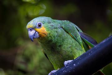 Papagaio Chico