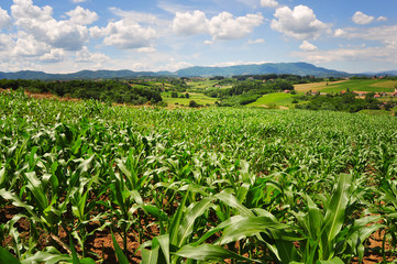 Field of green corn plants on a farm, countryside landscape