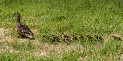 Mallard with chicks