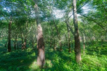 Forest with tall trees in Diyathalawa, Haputale in Sri Lanka