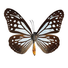 Wall Mural - Tawny Mime butterfly