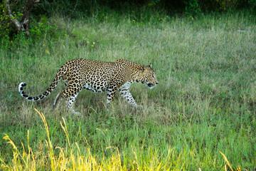 Sri Lankan leopard on hunt at Yala national park in Sri Lanka