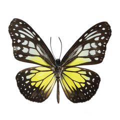 Wall Mural - Yellow Glassy Tiger butterfly