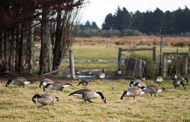 Geese grazing on village yard