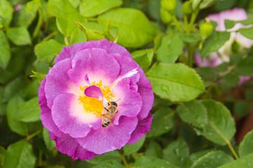 Macro di un'ape su un fiore