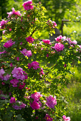 pink roses growing in garden