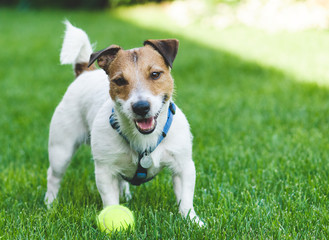 Smiling terrier dog with a ball at hot day