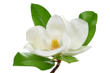 Photo sur Plexiglas Magnolia White magnolia
