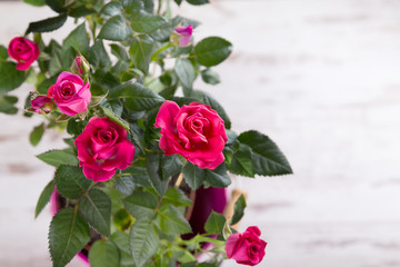 Pink bushed roses in the pot