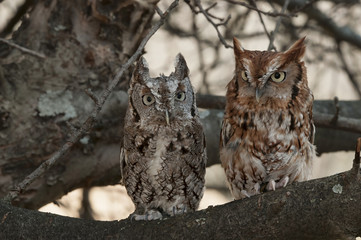 Pair of Eastern Screech Owls, Gray and Rust, Sitting in a Tree
