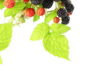 raspberry leaves with fruit closeup in white background