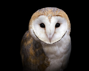 closeup portrait of a barn owl on a black background