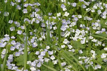 Polny kwiat, polne kwiaty - kwiatek, kwiatki