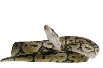 Python regius isolated on white background.