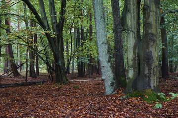 Der Darßer Urwald, Nationalpark Vorpommersche Boddenlandschaft,